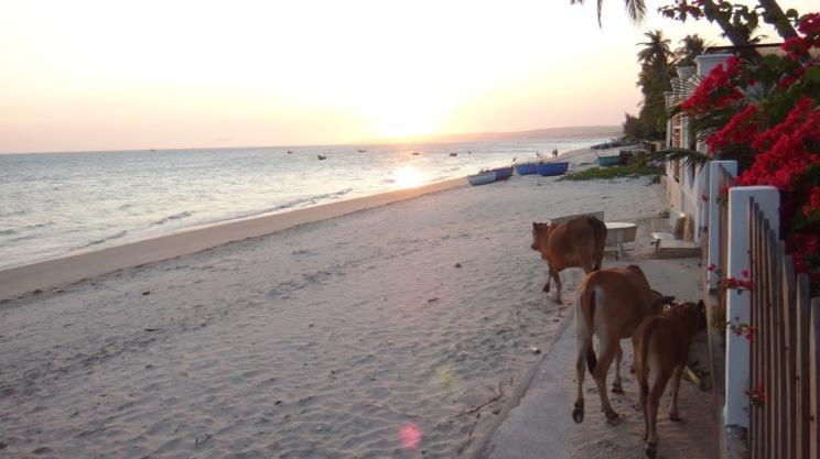Cows on the hotel beach