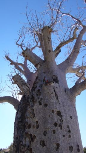 758 year old Boab tree