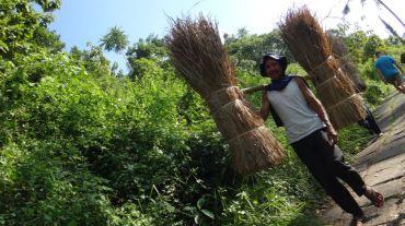 Bali Rice Fields - 1