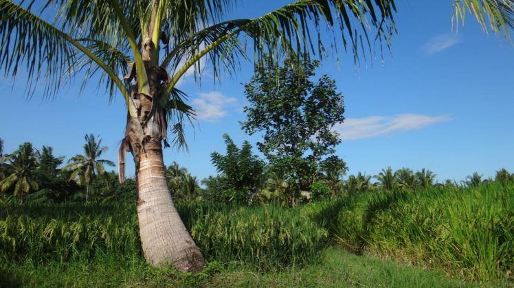 Bali Rice Fields - 13