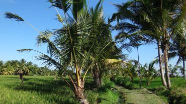 Bali Rice Fields - 15