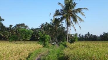 Bali Rice Fields - 18