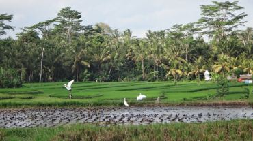 Bali Rice Fields - 19
