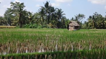 Bali Rice Fields - 2