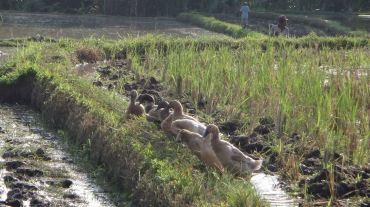 Bali Rice Fields - 21