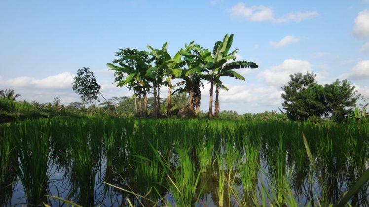 Bali Rice Fields - 23