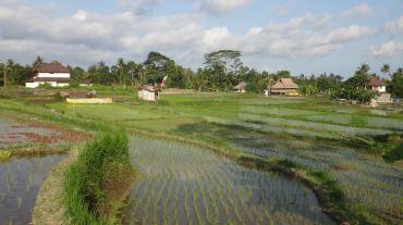 Bali Rice Fields - 24