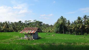 Bali Rice Fields - 27