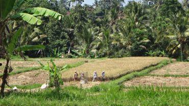 Bali Rice Fields - 30