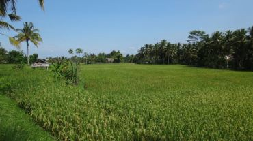 Bali Rice Fields - 31