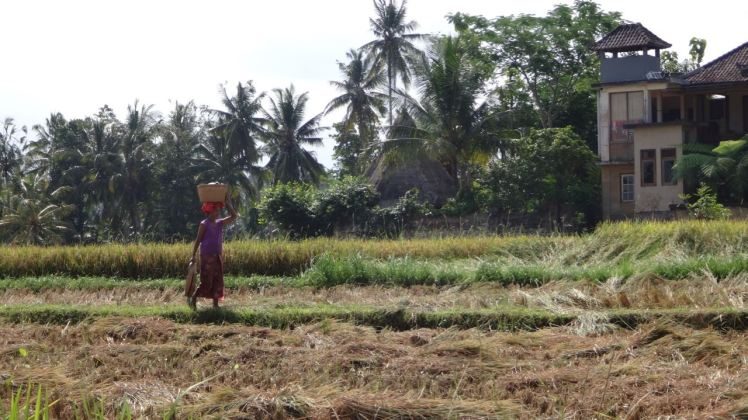 Bali Rice Fields - 32