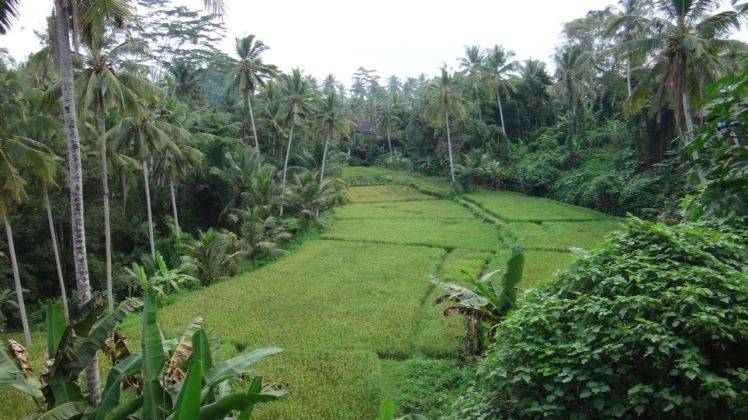 Bali Rice Fields - 34