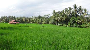 Bali Rice Fields - 35