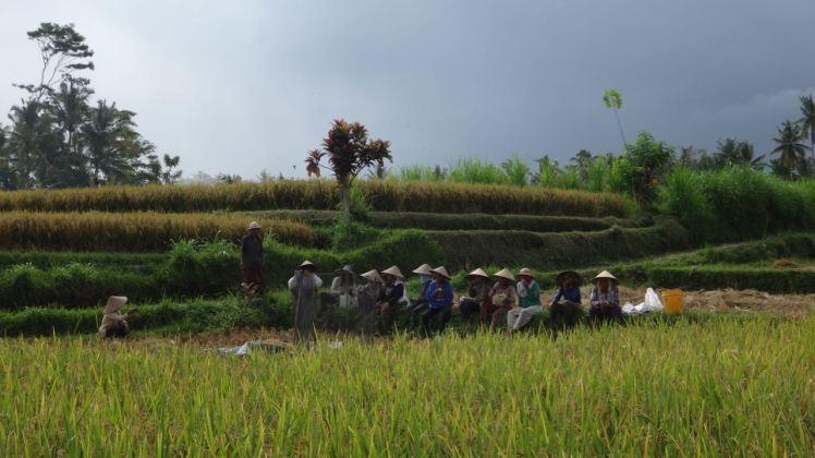 Bali Rice Fields - 37
