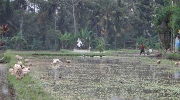 Bali Rice Fields - 38