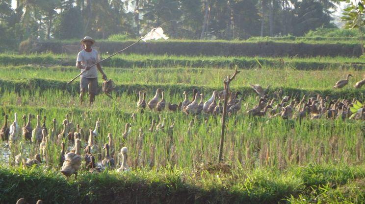 Bali Rice Fields - 41
