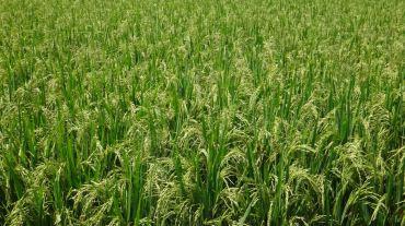 Bali Rice Fields - 5