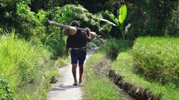 Bali Rice Fields - 6