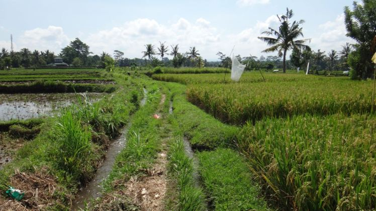 Bali Rice Fields - 7