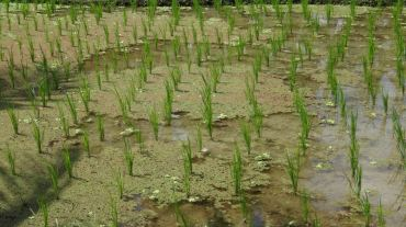 Bali Rice Fields - 8