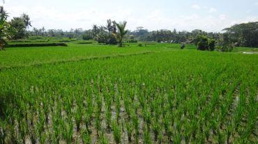 Bali Rice Fields - 9